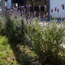 Las lavandas en flor son parte de este jardín.